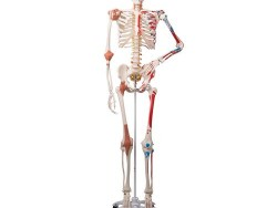 A13_01_Skeleton-Model-with-Muscles-and-Ligaments-Sam
