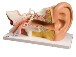 E10_01_Ear-Model-3-times-life-size-4-part